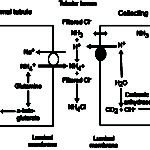 Renal excretion of hydrogen