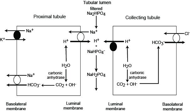 Renal titratable acidity